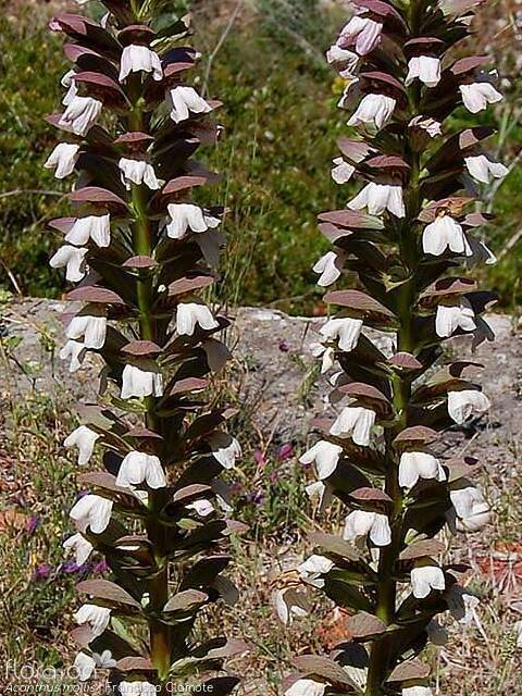 Acanthus mollis - Flor (geral) | Francisco Clamote; CC BY-NC 4.0