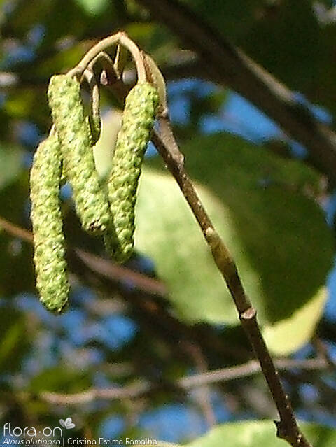 Alnus glutinosa - Flor (close-up) | Cristina Estima Ramalho; CC BY-NC 4.0