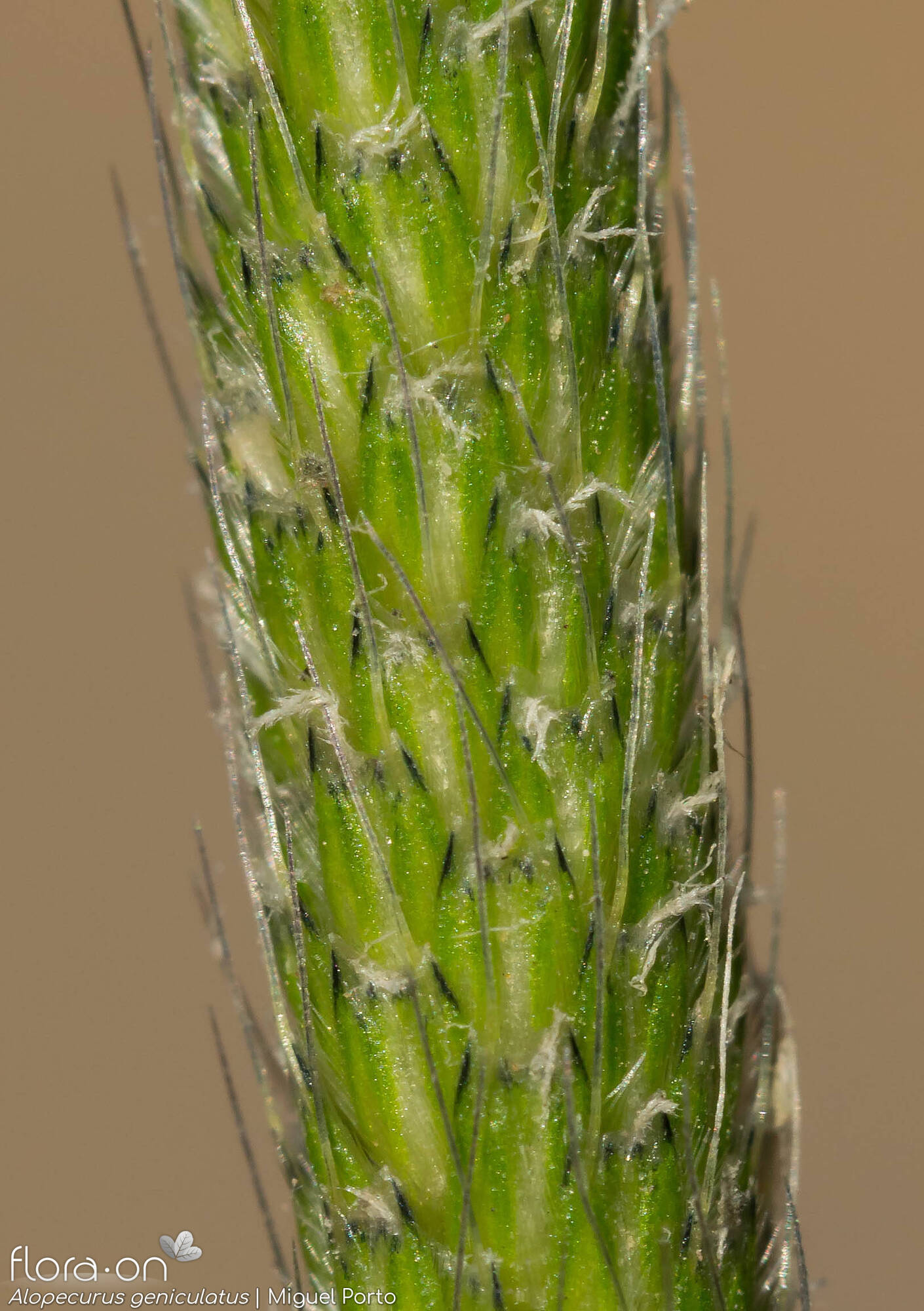 Alopecurus geniculatus - Flor (close-up) | Miguel Porto; CC BY-NC 4.0