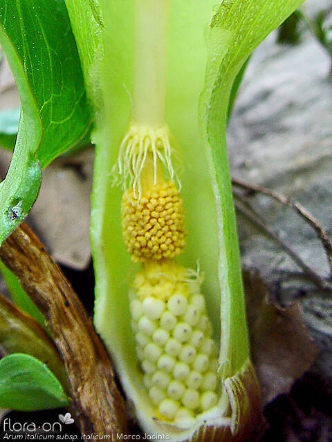 Arum italicum italicum - Flor (close-up) | Marco Jacinto; CC BY-NC 4.0