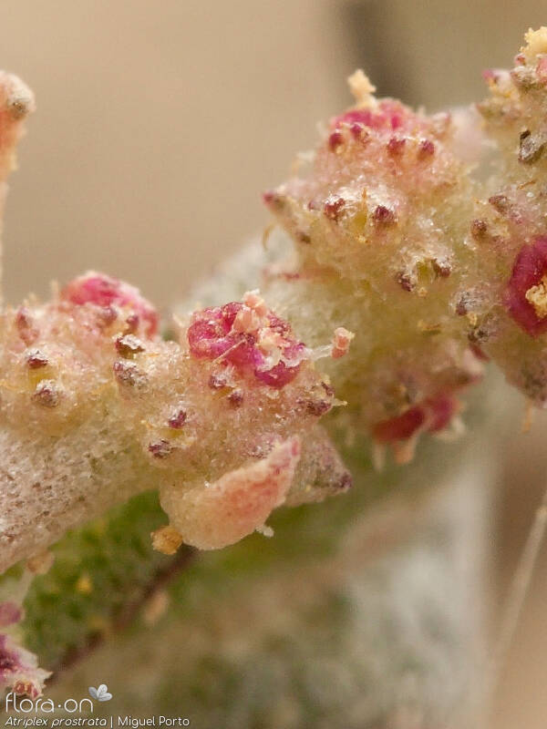 Atriplex prostrata - Flor (close-up) | Miguel Porto; CC BY-NC 4.0