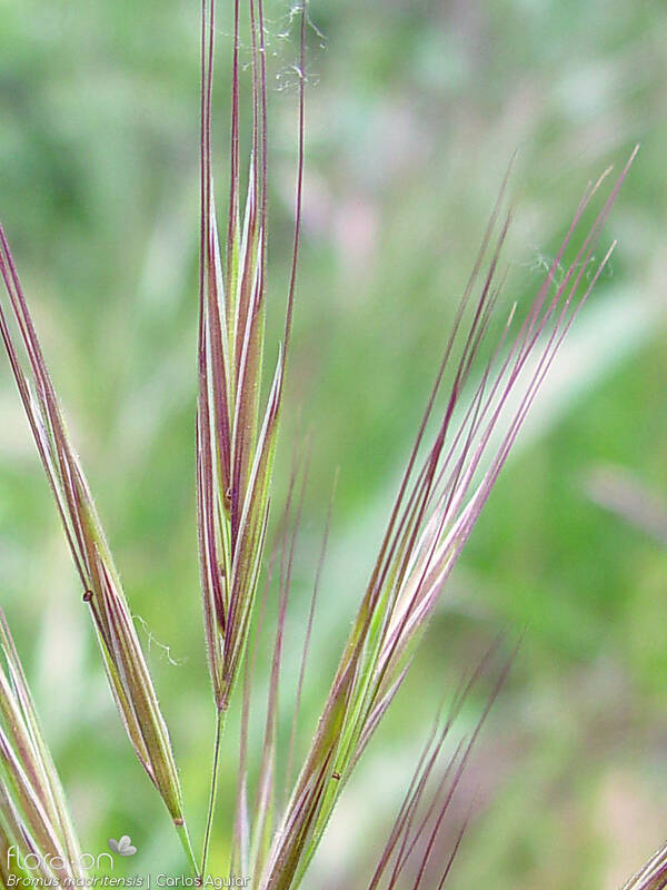 Bromus madritensis - Flor (close-up) | Carlos Aguiar; CC BY-NC 4.0