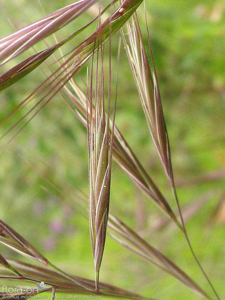 Bromus madritensis - Flor (close-up) | Patrícia Pinto Silva; CC BY-NC 4.0