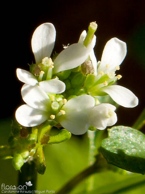 Cardamine hirsuta - Flor (close-up) | Miguel Porto; CC BY-NC 4.0