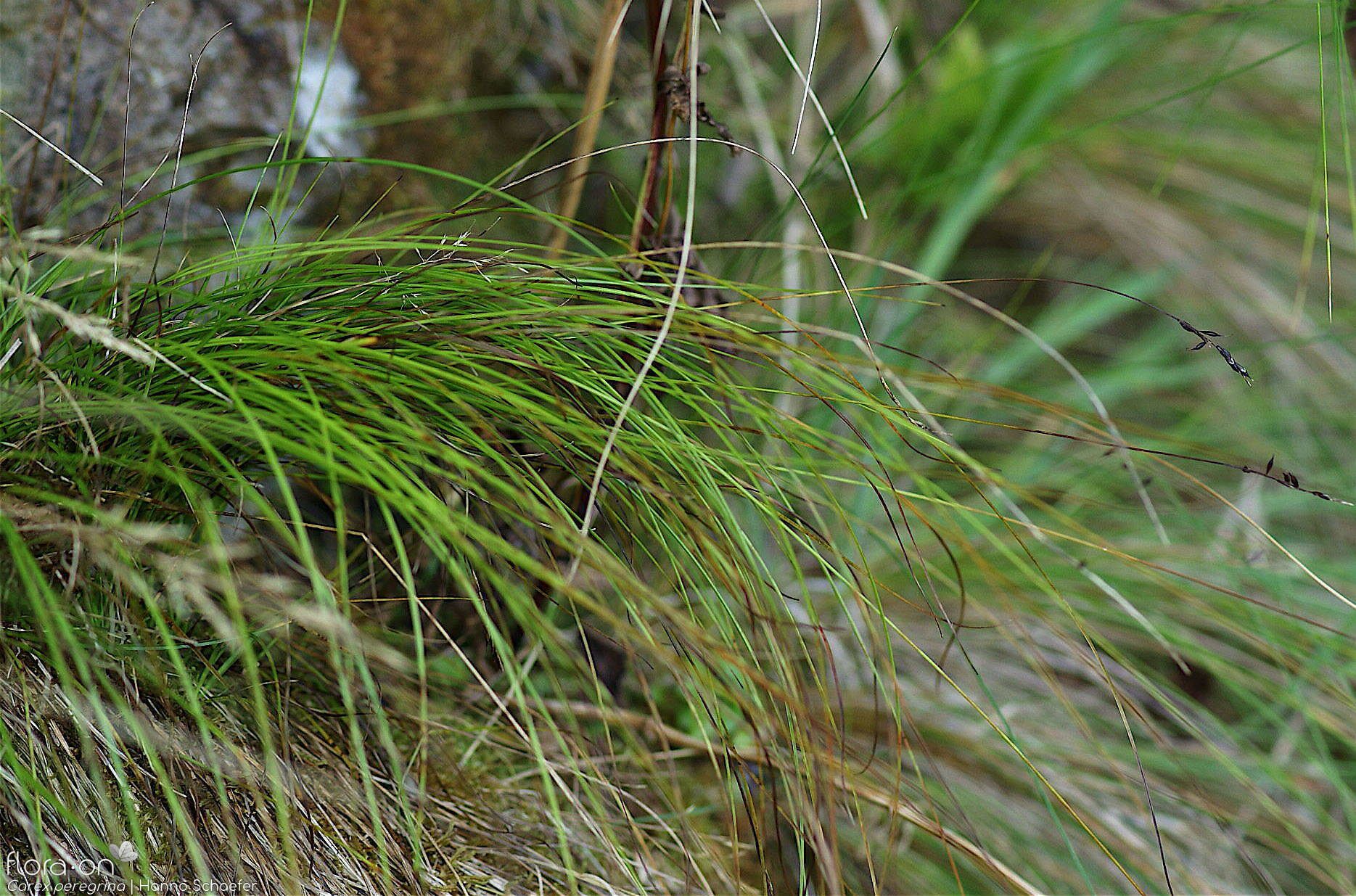 Carex peregrina -  | Hanno Schaefer; CC BY-NC 4.0