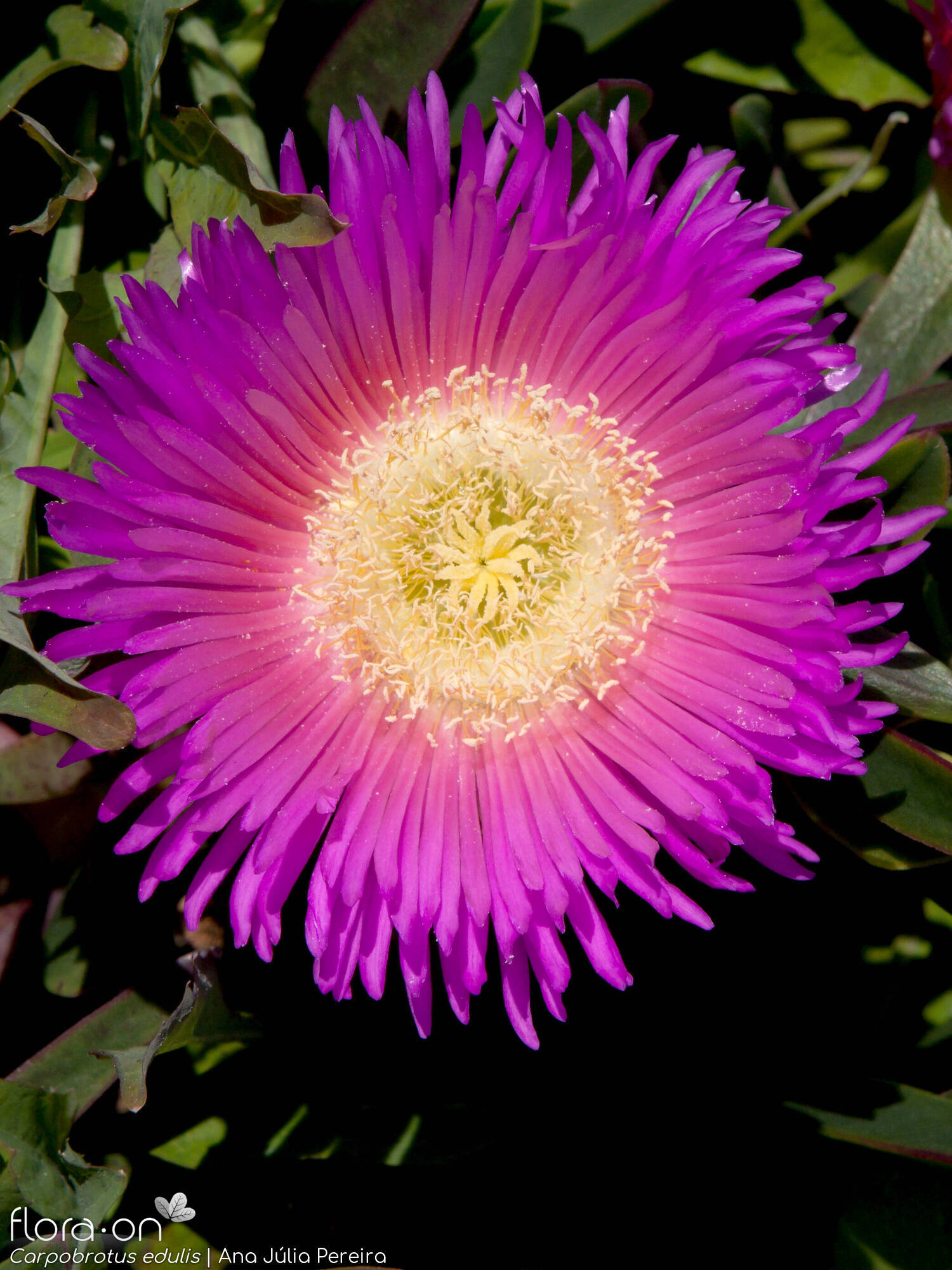 Carpobrotus edulis - Flor (close-up) | Ana Júlia Pereira; CC BY-NC 4.0