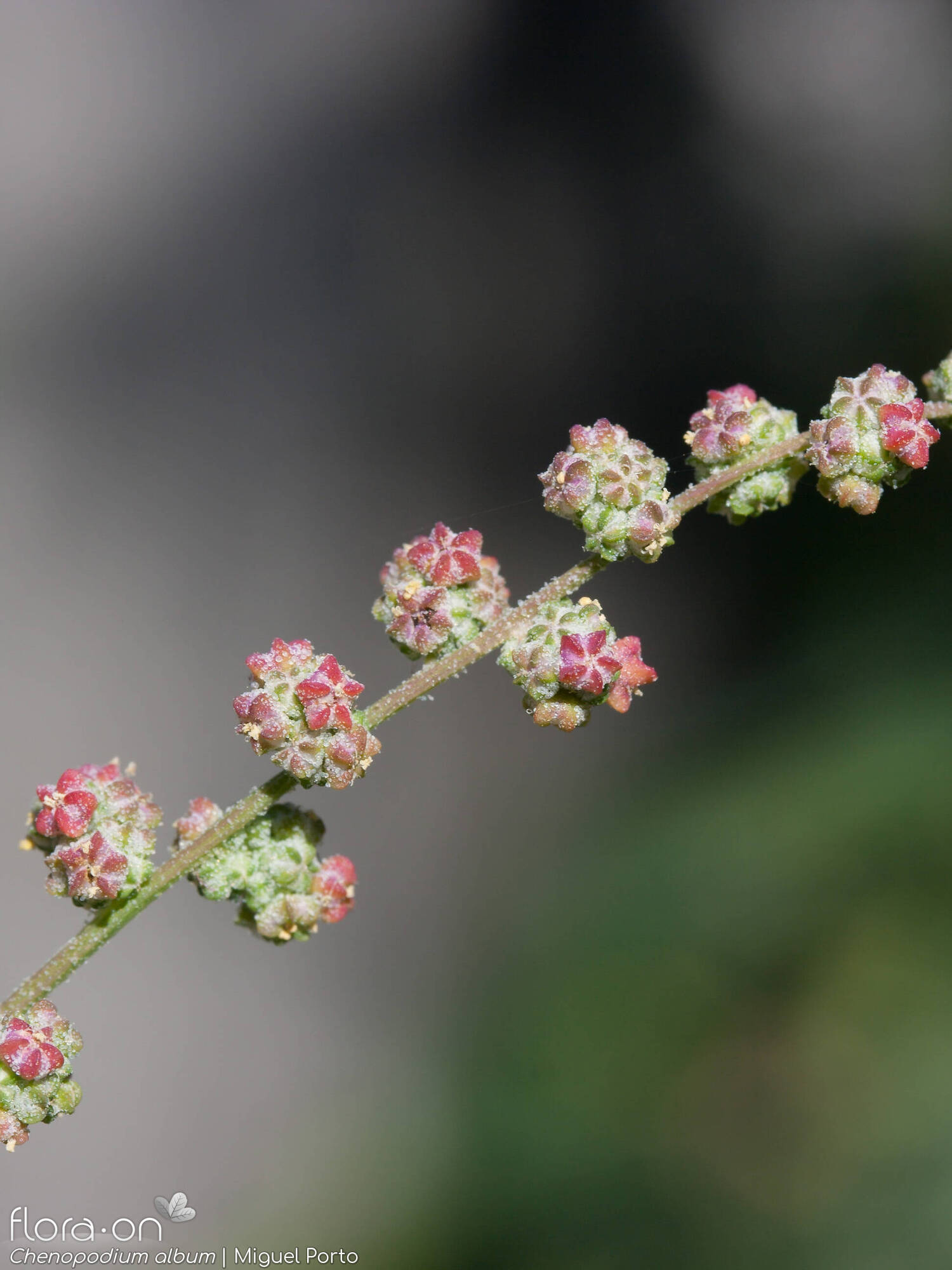 Chenopodium album - Flor (close-up) | Miguel Porto; CC BY-NC 4.0