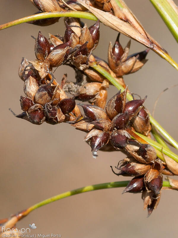 Cladium mariscus - Flor (close-up) | Miguel Porto; CC BY-NC 4.0