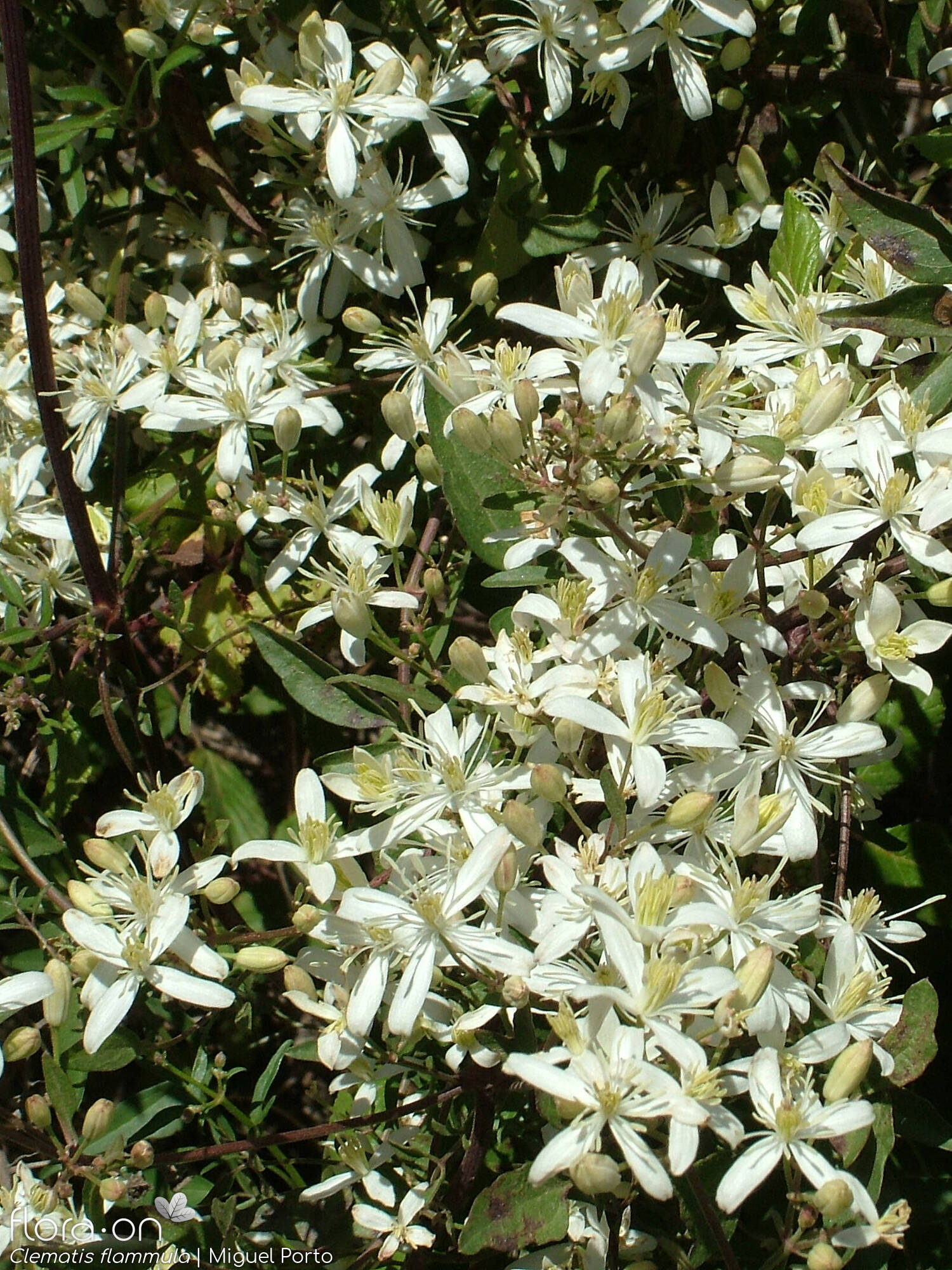 Clematis flammula - Flor (geral) | Miguel Porto; CC BY-NC 4.0