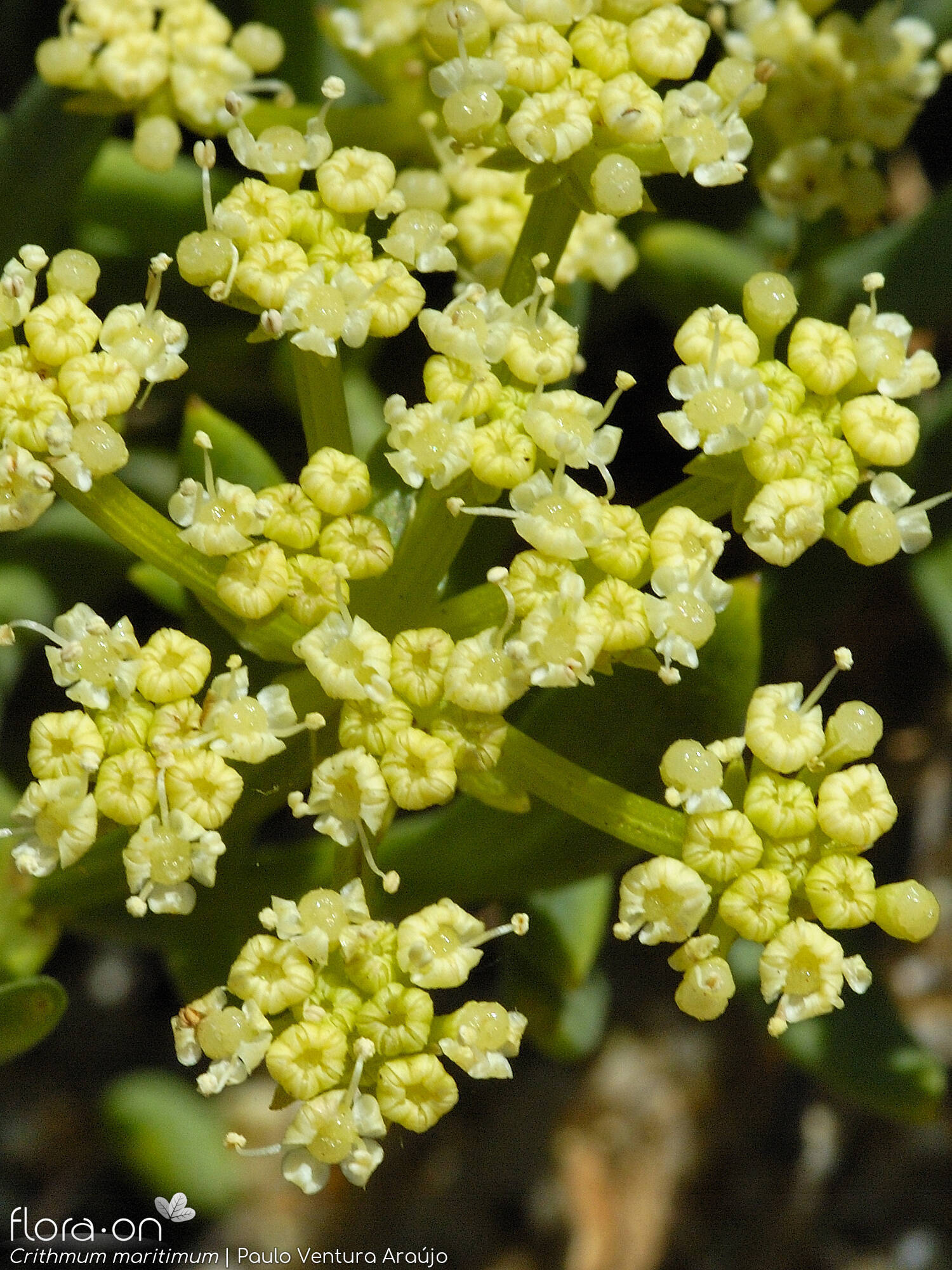 Crithmum maritimum - Flor (close-up) | Paulo Ventura Araújo; CC BY-NC 4.0