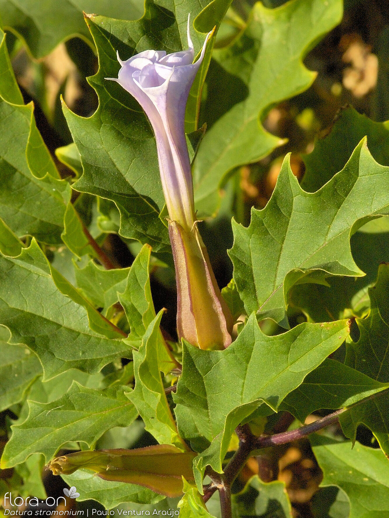Datura stramonium - Flor (close-up) | Paulo Ventura Araújo; CC BY-NC 4.0