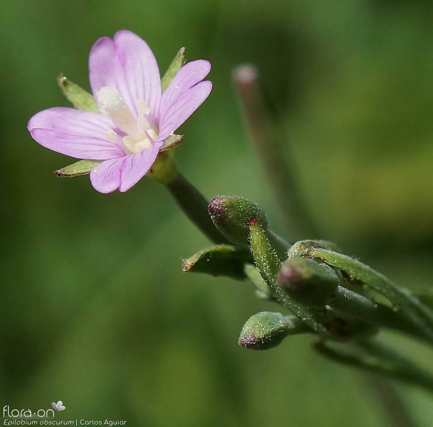 Epilobium obscurum - Flor (close-up) | Carlos Aguiar; CC BY-NC 4.0