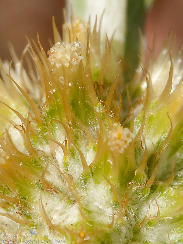 Filago pyramidata - Flor (close-up) | Miguel Porto; CC BY-NC 4.0