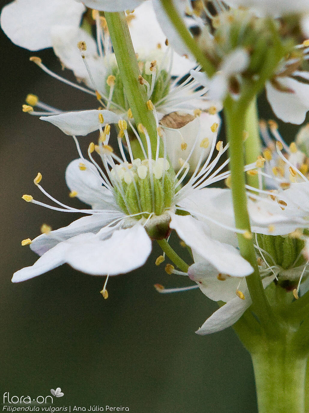 Filipendula vulgaris - Flor (close-up) | Ana Júlia Pereira; CC BY-NC 4.0