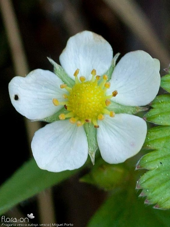 Fragaria vesca vesca - Flor (close-up) | Miguel Porto; CC BY-NC 4.0
