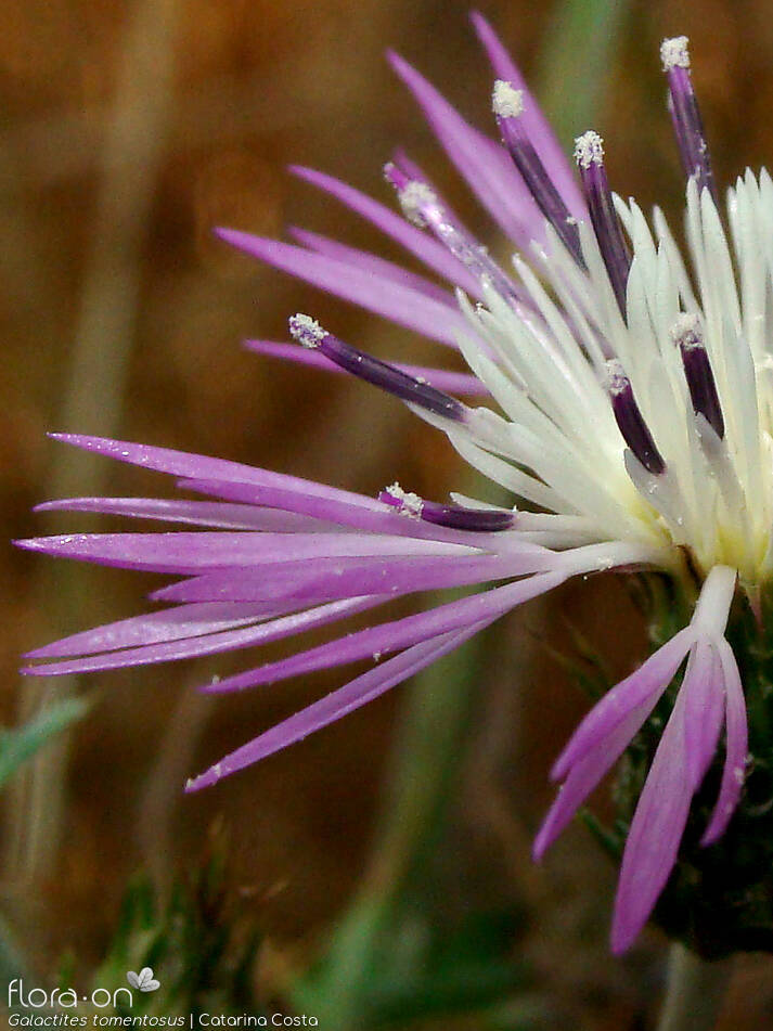 Galactites tomentosus - Flor (close-up) | Catarina Costa; CC BY-NC 4.0