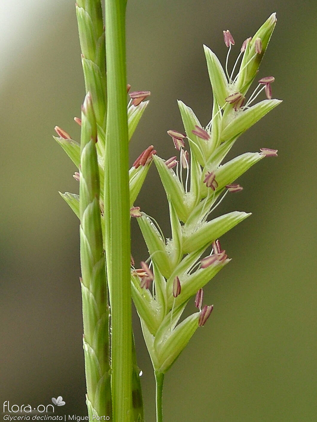 Glyceria declinata - Flor (close-up) | Miguel Porto; CC BY-NC 4.0