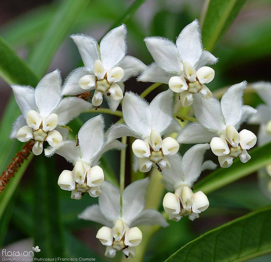 Gomphocarpus fruticosus - Flor (close-up) | Francisco Clamote; CC BY-NC 4.0