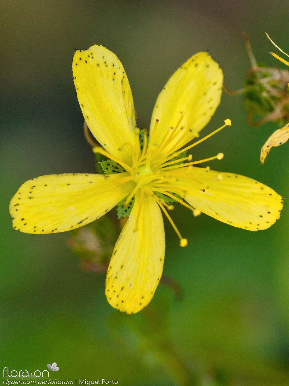 Hypericum perfoliatum - Flor (close-up) | Miguel Porto; CC BY-NC 4.0