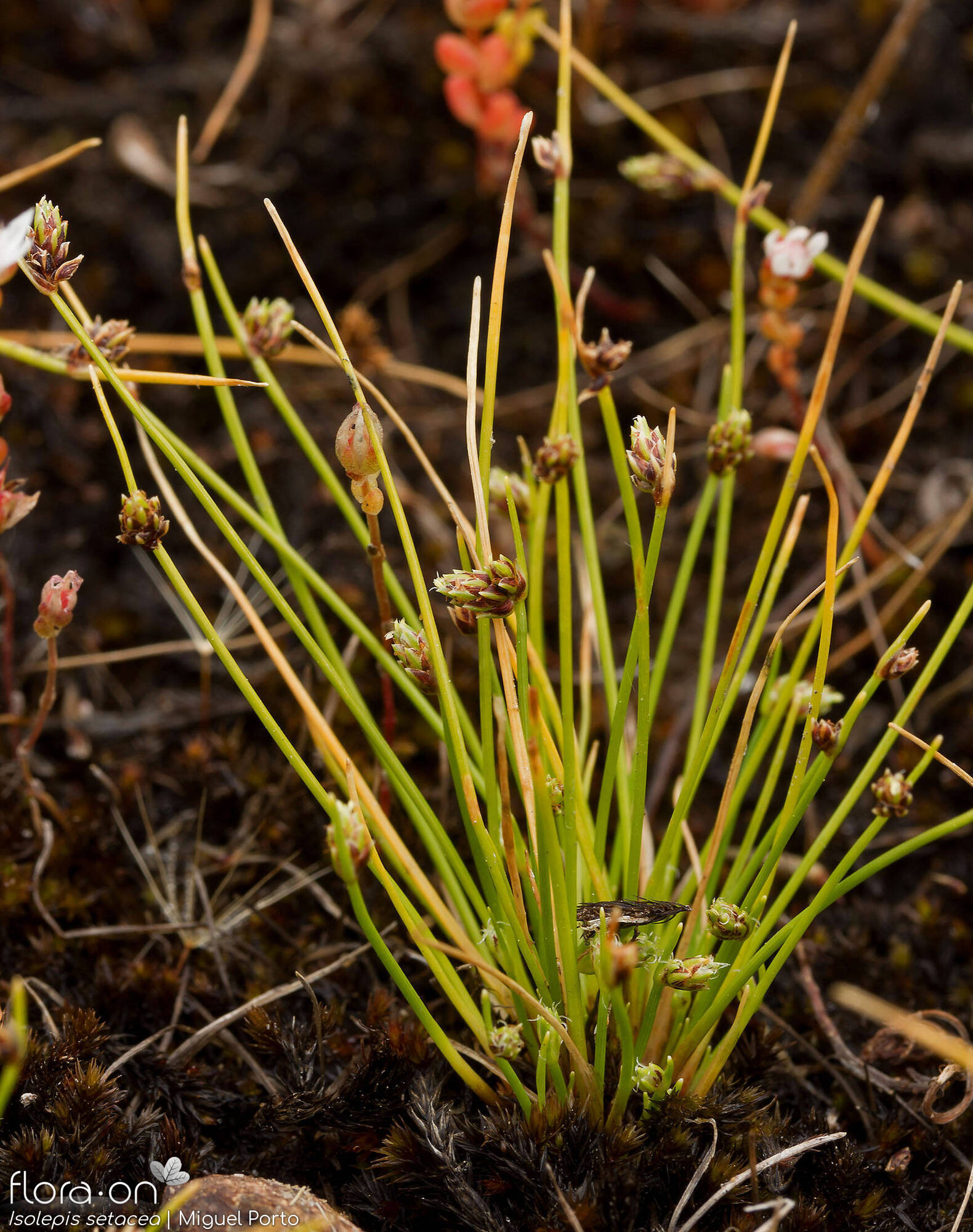 Isolepis setacea - Hábito | Miguel Porto; CC BY-NC 4.0