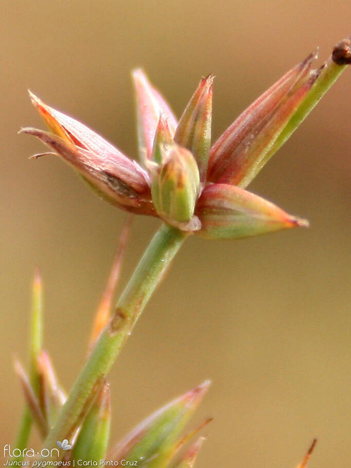 Juncus pygmaeus - Flor (close-up) | Carla Pinto Cruz; CC BY-NC 4.0