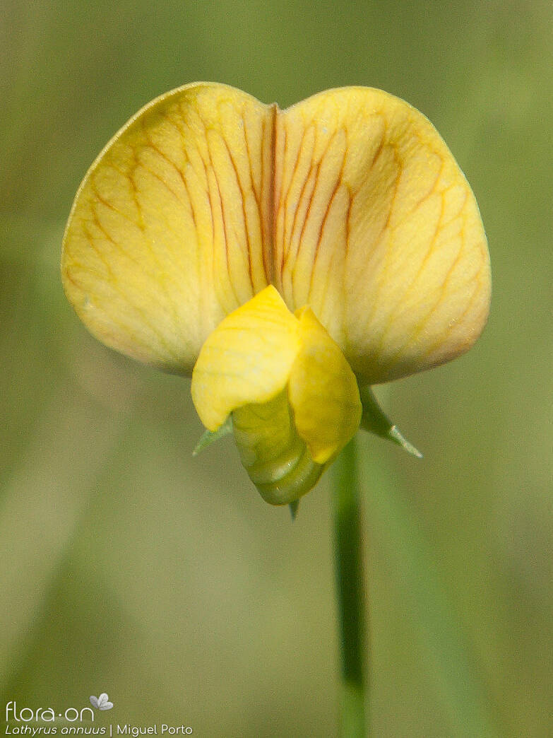 Lathyrus annuus - Flor (close-up) | Miguel Porto; CC BY-NC 4.0