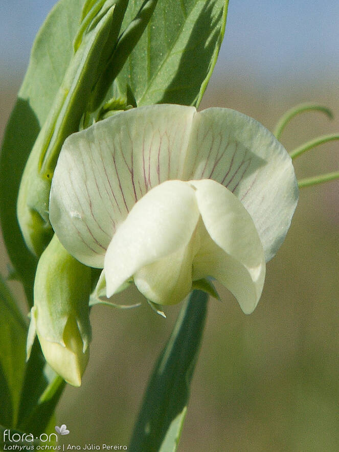 Lathyrus ochrus - Flor (close-up) | Ana Júlia Pereira; CC BY-NC 4.0