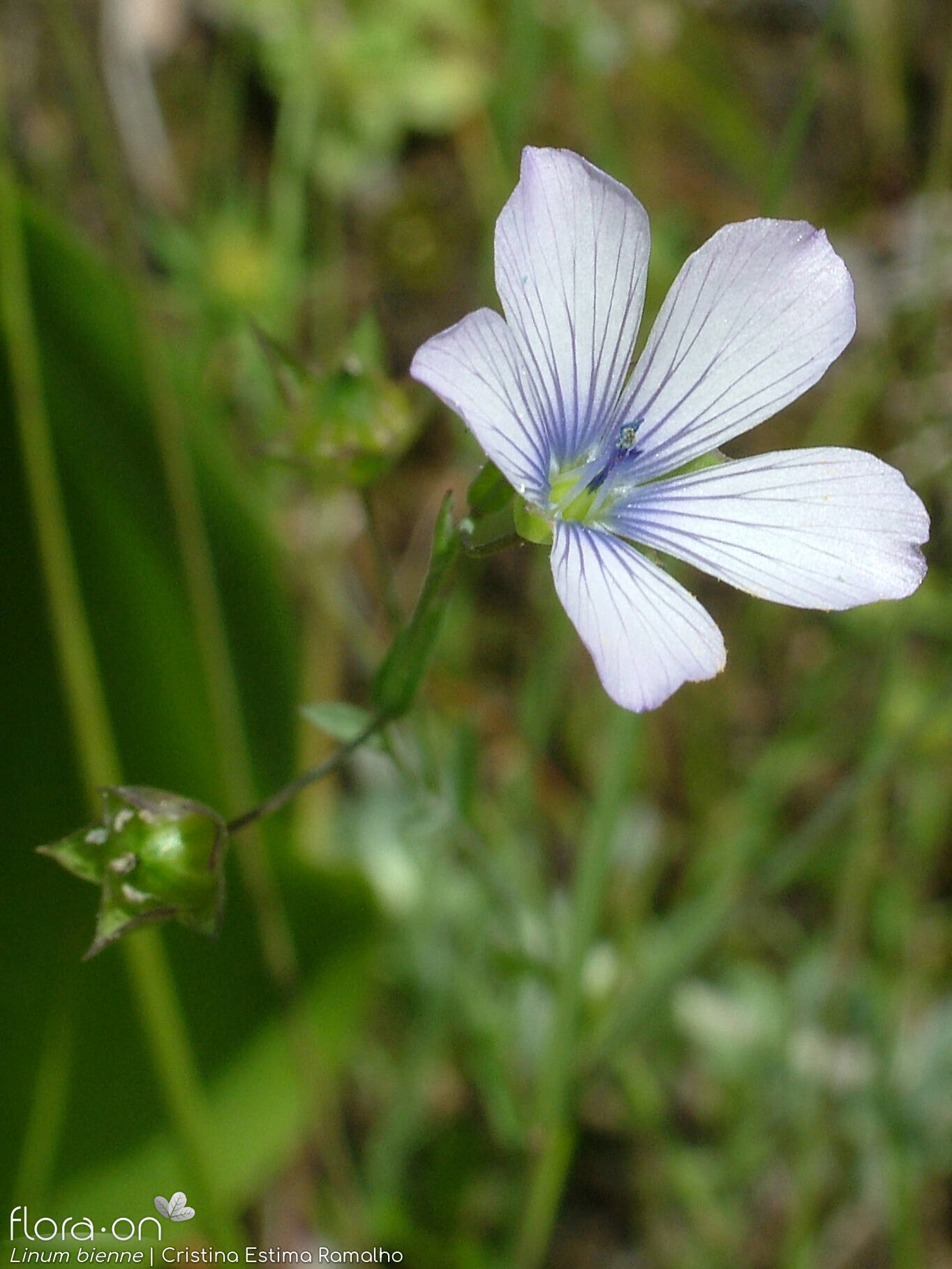 Linum bienne - Flor (close-up) | Cristina Estima Ramalho; CC BY-NC 4.0