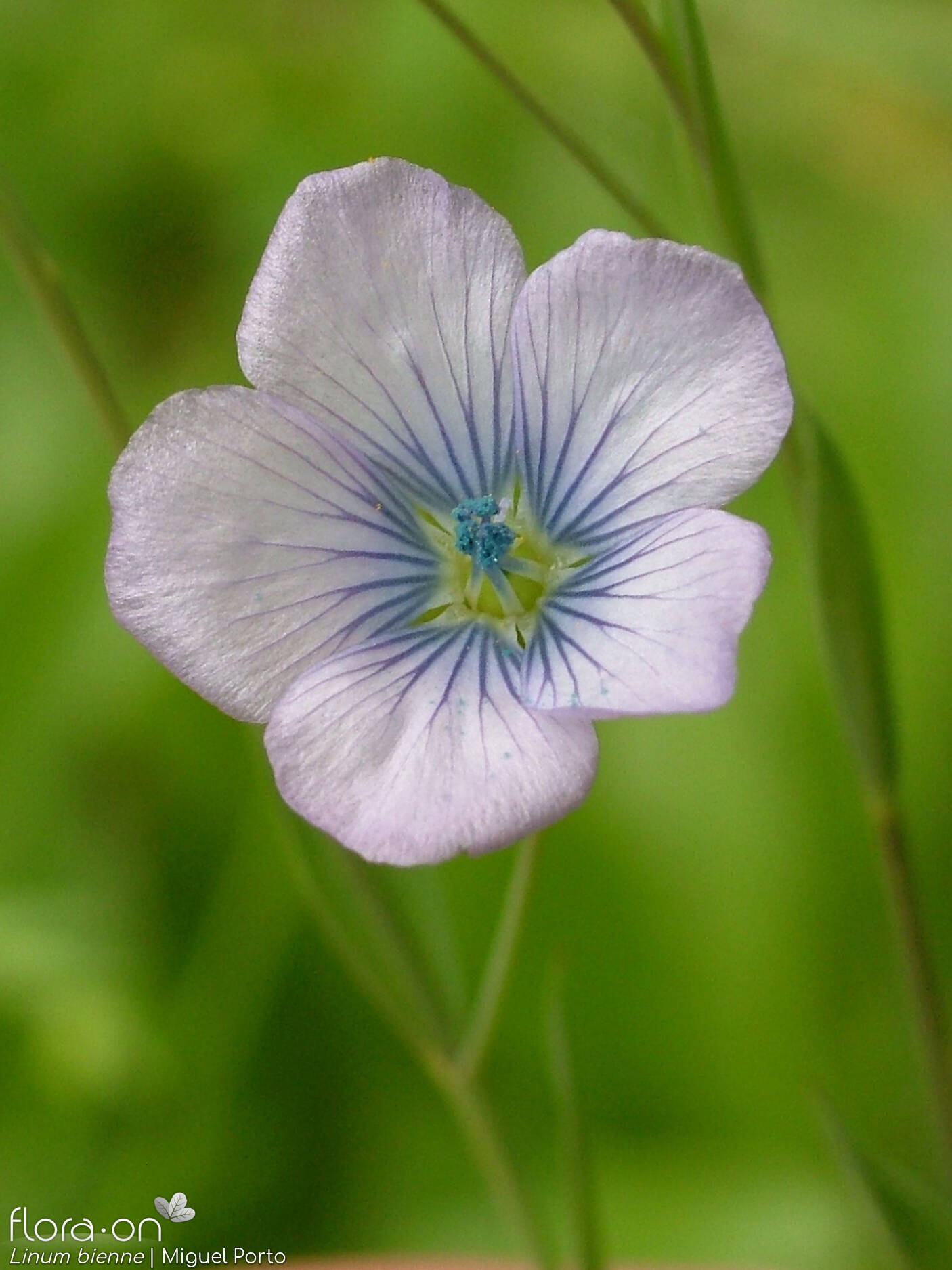 Linum bienne - Flor (close-up) | Miguel Porto; CC BY-NC 4.0