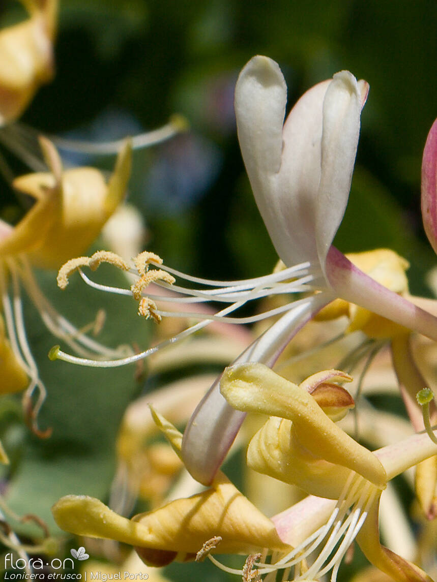 Lonicera etrusca - Flor (close-up) | Miguel Porto; CC BY-NC 4.0