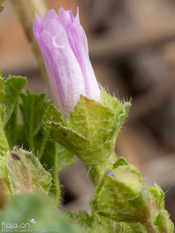 Malva nicaeensis - Flor (close-up) | Miguel Porto; CC BY-NC 4.0