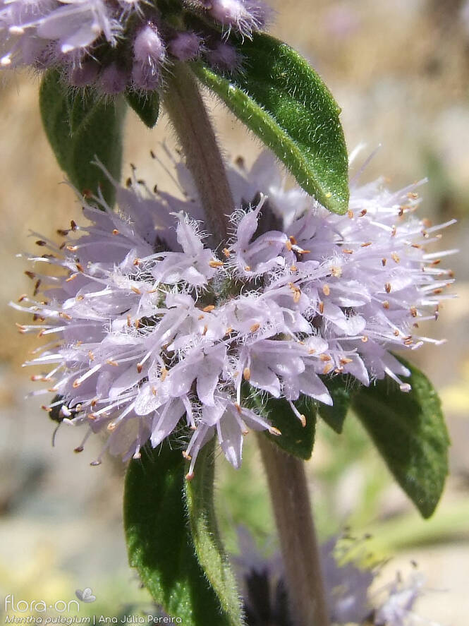 Mentha pulegium - Flor (close-up) | Ana Júlia Pereira; CC BY-NC 4.0