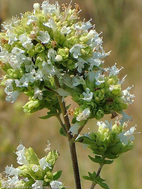 Origanum vulgare virens - Flor (close-up) | Miguel Porto; CC BY-NC 4.0