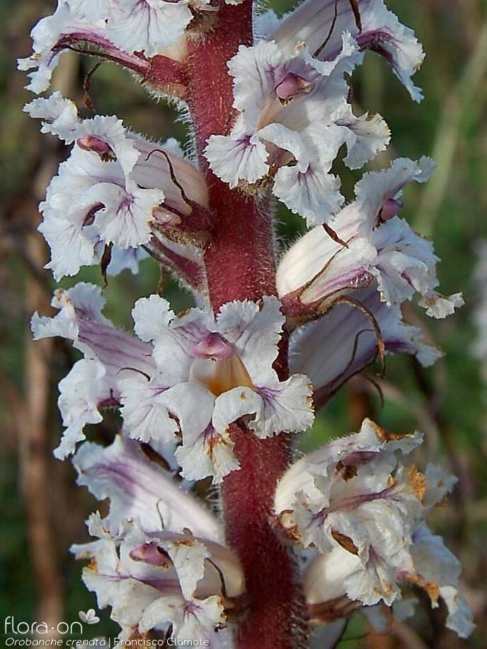 Orobanche crenata - Flor (close-up) | Francisco Clamote; CC BY-NC 4.0