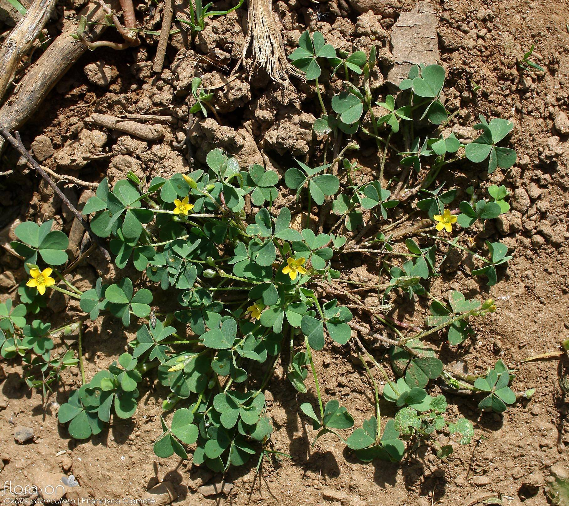 Oxalis corniculata - Hábito | Francisco Clamote; CC BY-NC 4.0