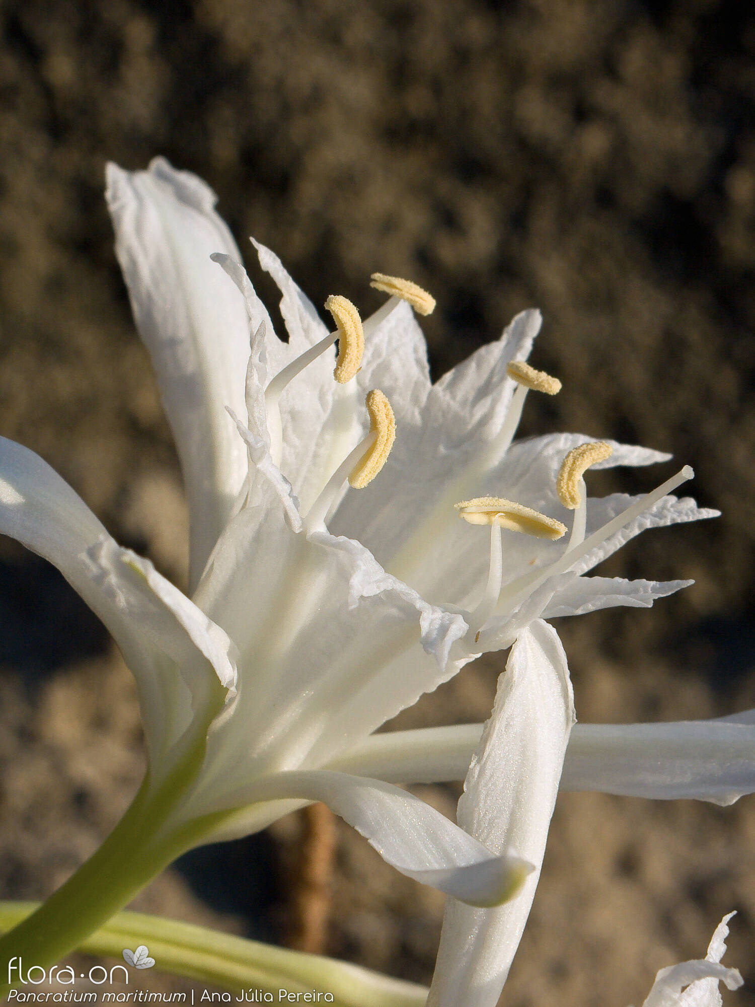 Pancratium maritimum - Flor (close-up) | Ana Júlia Pereira; CC BY-NC 4.0