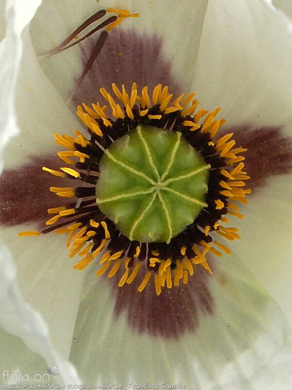 Papaver somniferum somniferum - Estruturas reprodutoras | Francisco Clamote; CC BY-NC 4.0