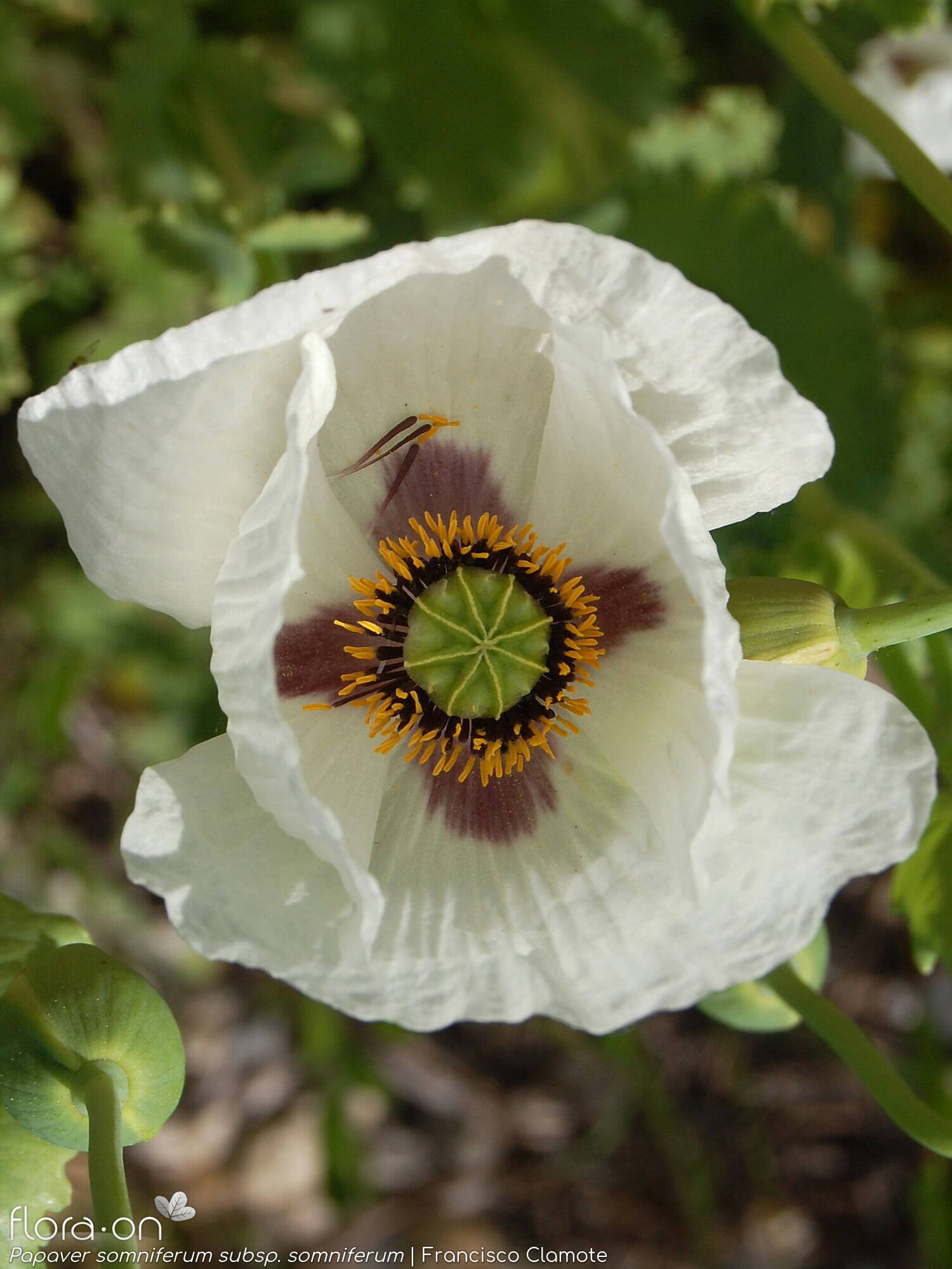 Papaver somniferum somniferum - Flor (close-up) | Francisco Clamote; CC BY-NC 4.0