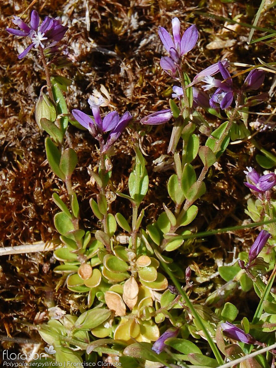 Polygala serpyllifolia - Hábito | Francisco Clamote; CC BY-NC 4.0