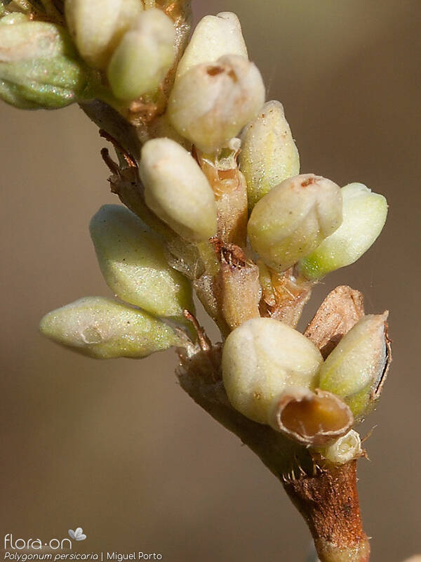 Polygonum persicaria - Flor (close-up) | Miguel Porto; CC BY-NC 4.0