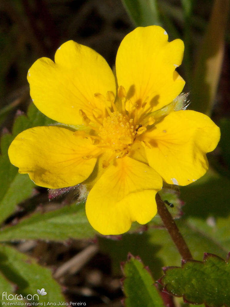 Potentilla reptans - Flor (close-up) | Ana Júlia Pereira; CC BY-NC 4.0