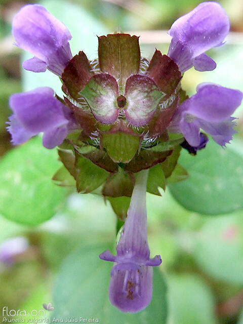 Prunella vulgaris - Flor (close-up) | Ana Júlia Pereira; CC BY-NC 4.0