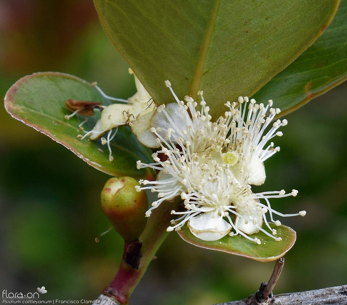 Psidium cattleyanum -  | Francisco Clamote; CC BY-NC 4.0
