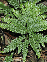 Pteris incompleta