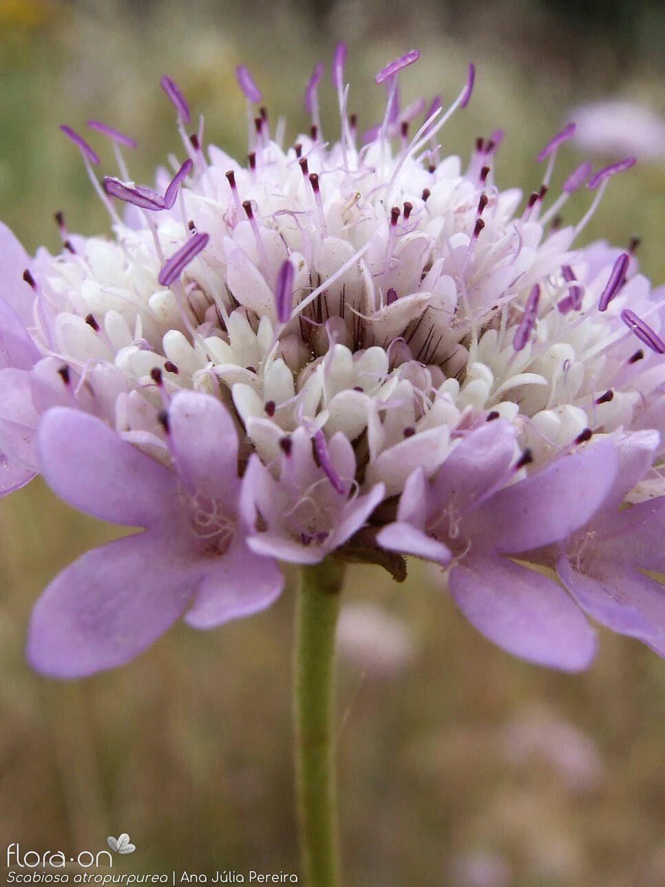 Scabiosa atropurpurea - Flor (close-up) | Ana Júlia Pereira; CC BY-NC 4.0