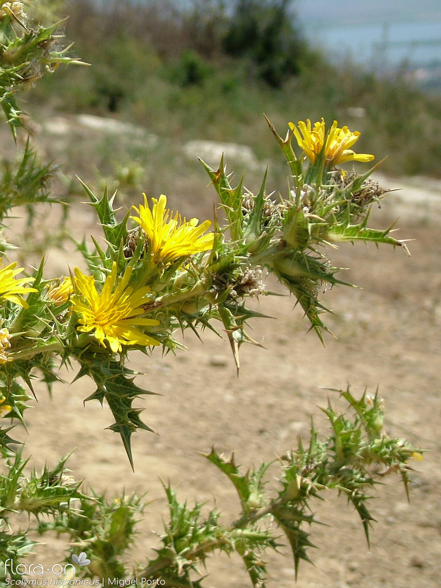 Scolymus hispanicus - Flor (geral) | Miguel Porto; CC BY-NC 4.0