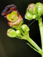 Scrophulariaceae