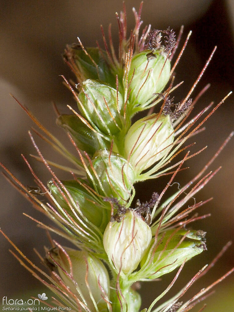 Setaria pumila - Flor (close-up) | Miguel Porto; CC BY-NC 4.0