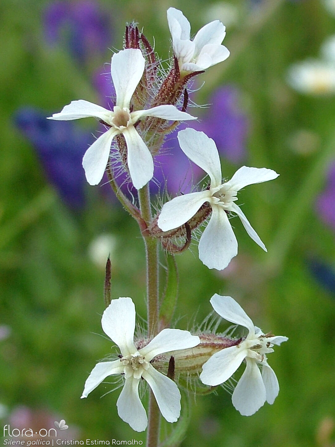 Silene gallica - Flor (close-up) | Cristina Estima Ramalho; CC BY-NC 4.0