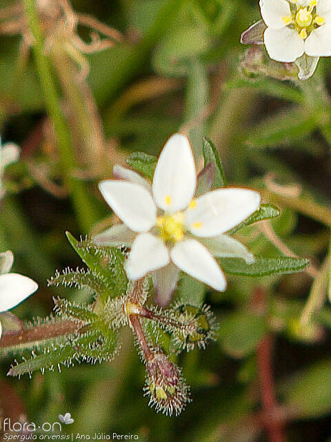 Spergula arvensis - Flor (close-up) | Ana Júlia Pereira; CC BY-NC 4.0